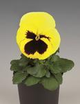 Viola x w. Inspire Lemon yellow with Eye  F1 500 s