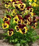Viola x w. Roter Flügel 1g