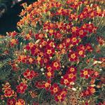 Tagetes tenuifolia Ornament 1000 seeds