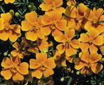 Tagetes tenuifolia Tangerine Gem 1000s