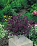Verbena speciosa Imagination 500 seeds