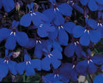 Lobelia erinus Riviera Marine Blue 0,5g