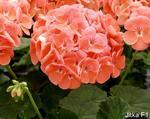 Pelargonium x h. Jitka F1 100 seeds