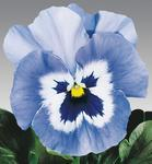 Viola x w.Joker Light Blue F2 500 seeds