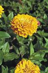 Zinnia elegans Giant Yellow 250s