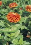 Zinnia elegans Giant Orange 250s