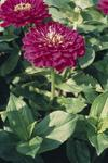 Zinnia elegans Giant Purple 250s