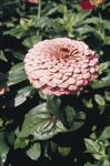 Zinnia elegans Giant Bright Pink 250 seeds