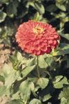 Zinnia elegans Giant Coral 250 seeds