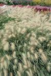 Pennisetum villosum 250s