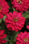 Zinnia maryladica Zahara Double Cherry 100 seeds