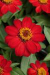 Zinnia maryladica Zahara Scarlet 100s