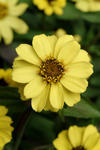 Zinnia maryladica Zahara Yellow 100 seeds