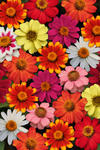 Zinnia maryladica Zahara Mix 100s