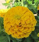 Zinnia Super Yoga Golden-Yellow 5g