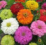 Zinnia Super Yoga Formula Mix 5g