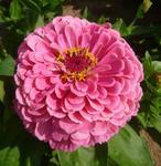 Zinnia Super Yoga Růžová 5g