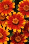 Zinnia maryladica Zahara Sunburst 100 seeds