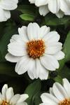Zinnia maryladica Zahara White 100s