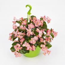 Begonia x b. Big® Pink Green Leaf F1 200 pelet