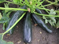 Courgette-Zucchini Startgreen F1 25 g