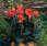 Canna g. Cannova Bronze Orange F1 50s - 1/2