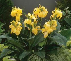 Canna g. Cannova Yellow  F1 50 seeds