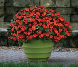 Impatiens Beacon Orange  F1 250 seeds
