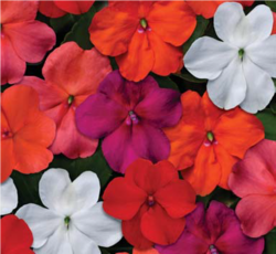 Impatiens Beacon Select Mixture F1 250s