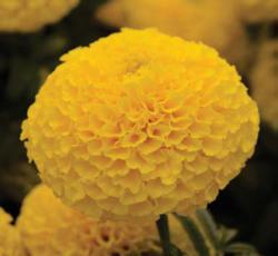 Tagetes erecta Taishan Yellow 200 seeds