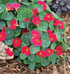Tropaeolum m. Baby Rose 20g