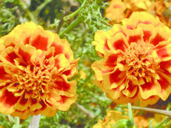 Tagetes patula Hero Orange Bee 300s