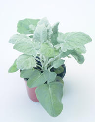 Senecio cineraria New Look 500 pelet