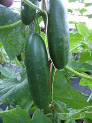 Salad cucumber Paladinka F1 2g