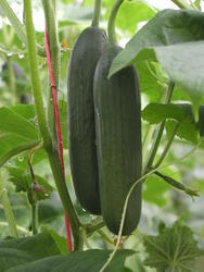 Salad cucumber Formule F1 2g