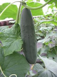 Salad cucumber Lili F1 10g - 1