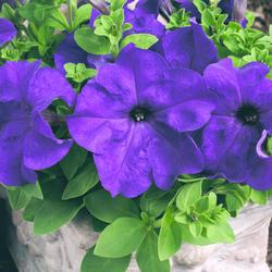 Petunia h. Express Blue F1 500s - 1