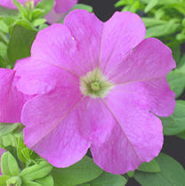 Petunia h. Express Pink F1 500s