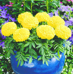 Tagetes erecta Antigua Yellow F1 200s - 1