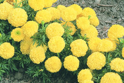 Tagetes erecta Inca II Yellow F1 200s