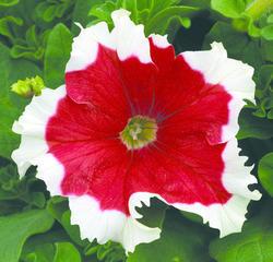 Petunia hybrida Frost červená F1 500s - 1