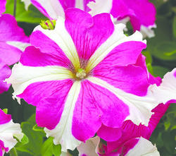 Petunia h. Express Rose Star F1 500s - 1