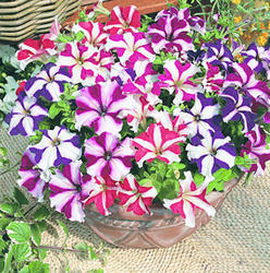 Petunia h. Express Star Mixture F1 500s
