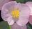 Begonia semp. Sprint Appleblossom F1 1000 pelet - 1/2