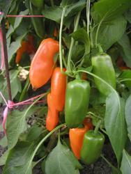 Paprika roční Hamík 1g
