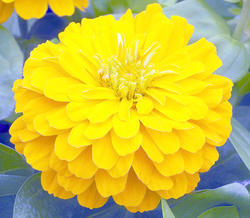 Zinnia elegans Short Stuff Yellow 100s