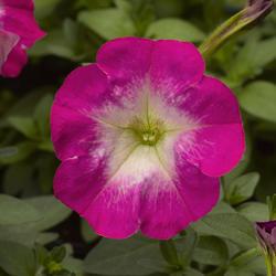 Petunia mill. Picobella Rose Morn F1 250 pelet - 1