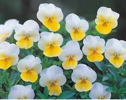 Viola c. Floral Cream F1 250 seeds