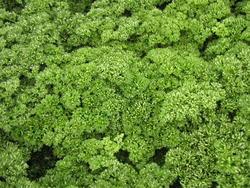 Garden parsley Kadeřavá 10g