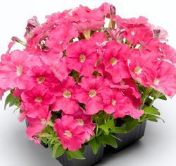 Petunia mill. Picobella Pink F1 250 pelet - 1